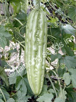 Bitter melon F1 Hybrid Green