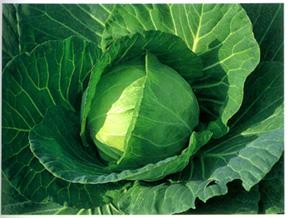 CabbagePacifica