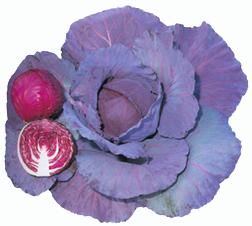 CabbageRookie