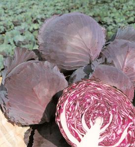 CabbageRubyKing