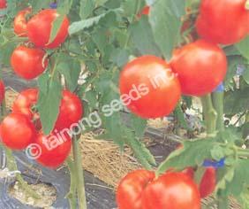 TomatoGrandeur