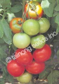 TomatoTropicBoy