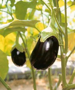 EggplantBlackKing