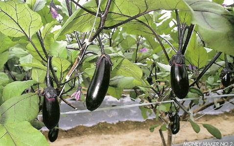 EggplantMoneyMakerNo2